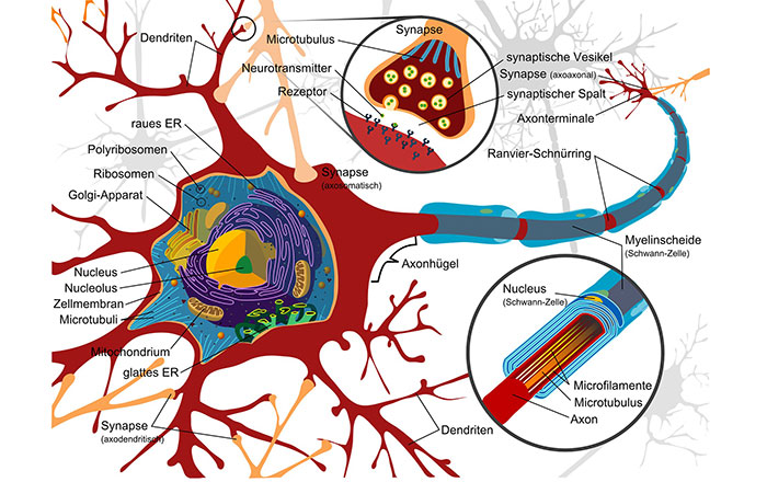 神経細胞の再生